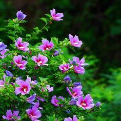 Rose of Sharon hibiscus