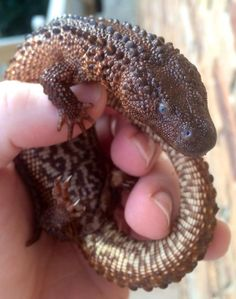 """Reptiles Revolution (Christopher Mumbles Murray, Earless Monitor Lizard Owner) """"Earless Monitor Lizards existing outside range countries have all been obtained illegally.   Parent stock has been illegally obtained, stolen from range countries, and therefore, by extension, the offspring of these animals are illegally sourced.""""    — Traffic report on the illegal trade in Earless Monitor Lizards"""