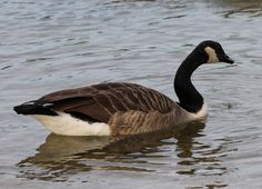 Birdwatching, Canada Goose, Birds