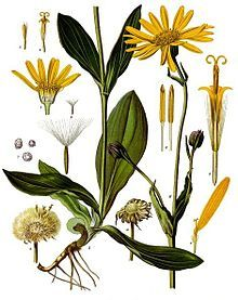 Arnica cream or oil has long been used externally to treat bruising, soft tissue damage and the shock of impact, whether from falling or being struck, Contact with the plant can also cause skin irritation. - Arnica montana - Köhler–s Medizinal-Pflanzen-015.jpg