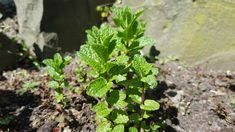 Ein merkwürdiger Start in den Frühling Angst, Kraut, Plants, Apple Tree, Chess, World, Plant, Planets