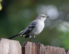 File:Northern Mockingbird3.jpg