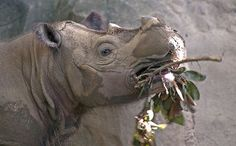 10,000 Mile Journey for Rare Rhino Brings Hope for His Species. In August, the Cincinnati Zoo announced plans to send its last Sumatran rhino home to Indonesia in the hope that he would find a mate and add to his species' critically endangered population. Now his supporters are celebrating his safe arrival following a 10,000 mile journey.