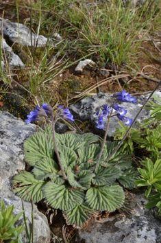 Sloped Garden, Alpine Plants, Garden Stones, Wildflowers, Blue Flowers, Bulbs, Natural Stones, Seeds, Bloom