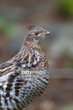 pennsylvania state bird ruffed grouse plenty of these around