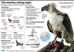 A monkey-eating eagle has been hatched in captivity in the Philippines, boosting the critically-endangered giant bird's fight against extinction. Found only in the rapidly vanishing tropical rainforests of the Philippines, the metre- (3.3-foot) long raptor gets its name from its diet of macaque monkeys and other small animals that share its habitat in Mindanao, the country's main southern island. The chick, hatched at a conservation centre on December 7, was the first in two years and the…