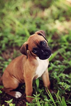 How Big Will My Boxer Dog Get