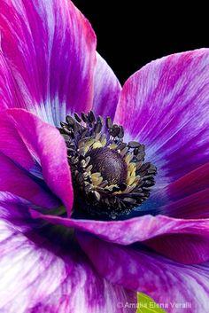 Anemone.  http://www.amaliaphotography.com/   PhotoID: 13884878  104949 1 copy - ID: 13884878 © AMALIA  Veralli