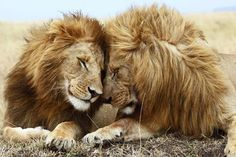 LIONS TOUCHING FACES poster AMAZING close-up pic BUSHY MANES big paws 24X36- YY1