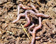 Gardening Compost how to attract earthworms to a compost pile - Learn how to attract earthworms for the optimum plant health and porosity. This article provides tips and information on attracting worms to the garden and the benefits they offer. Compost Soil, Garden Compost, Worm Composting, Garden Soil, Garden Beds, Garden Insects, Veg Garden, Garden Path, Benefits Of Gardening