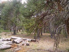 Araucarias en Moquehue, Neuquén