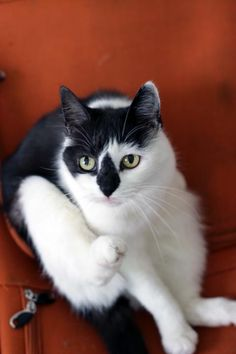 My black and white cat looks a lot like this one.  She's about 16.    #whbm #feelbeautiful
