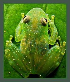 ❤Tree Frog - Cochranella euknemos❤
