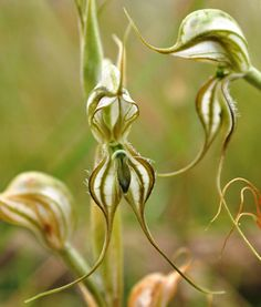 AN AUSTRALIAN ORCHID THOUGHT to be extinct has been spotted for the first time since 1941, by a team of expert eco-saviours at Bush Heritage Australia.