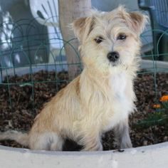 11901_Mindy is an adoptable Cairn Terrier Dog in Oakland, CA. I'm fun little Mindy - a happy, go lucky terrier who enjoys life. I like to walk, play, cuddle, whatever. I'm quite agile and like to expl...