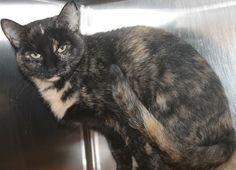 ADOPTED>Intake: 9/6 Available: Now  NAME: Lulu  ANIMAL ID: 33517309 BREED: DSH SEX: Spayed Female  EST. AGE: 1 yr  Est Weight: 9 lbs Health: Combo neg  Temperament: Friendly ADDITIONAL INFO: O/S  RESCUE PULL FEE: $35