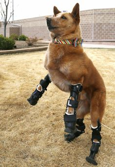 Nakio, a mixed-breed dog, has 4 artificial legs after losing all paws and part of his tail from frostbite after being abandoned as a puppy in a cold cellar.