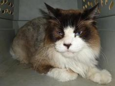 13-0506 is an adoptable Ragdoll Cat in Emporia, KS. Found at Eastgate available 6/25/13 if not claimed. If interested in adopting a pet you will need to fill out a request to adopt. This needs to be o...