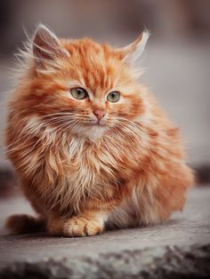 Precious Pictures Of Ginger Cats That Will Make You Just Say AWW 21 - Adorable Cats and Cute Kittens - Pretty Cats, Beautiful Cats, Animals Beautiful, Pretty Kitty, Ginger Kitten, Ginger Cats, Cute Kittens, Tabby Kittens, Fluffy Kittens