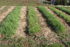 Planting Cover Crops:  Our raised rows with their annual rye cover crops up and going strong