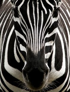 black and white photography - animal - safari - zebra - black and white - stripes - africa - Wisuella