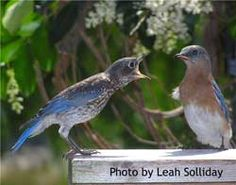 Feeding Mealworms to Bluebirds  Sialis.org -- great bluebird info