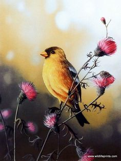http://www.wildlifeprints.com/collections/hansel-jim/products/jim-hansel-american-goldfinch