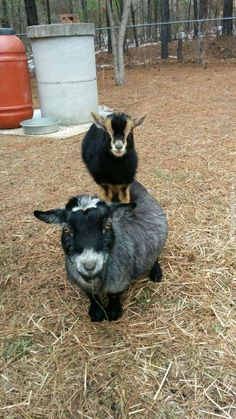Here is a goat on top of a goat.
