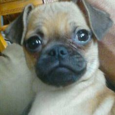 chugs puppy for sale This looks like my Carlee Starr that I adopted 3 ...