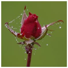 Dewdrops on web on rose