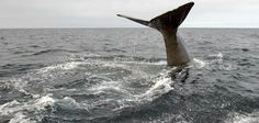 Sperm Whale diving deep in Trinity Bay, Bonavista Peninsula, Newfoundland, Canada