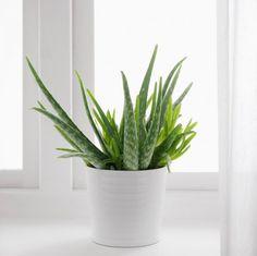 Алоэ настоящее, или Алоэ вера (Aloe vera)