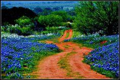 texas bluebonnets - Google Search