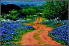 texas bluebonnets - Google Search