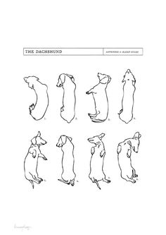 Dachshund Sleep Study Art Print. Illustrations of my pet dachshund's sleeping postions in black on white