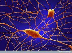 REINO ANIMALIA Célula neurônio.