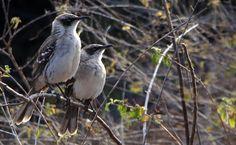 Um vislumbre da evolução. Foi o que Charles Darwin sentiu ao analisar os sabiás de Galápagos. Existem quatro espécies no arquipélago, todas muita parecidas, mas cada uma com um bico ligeiramente diferente e proveniente de uma ilha distinta: http://abr.io/4g3r