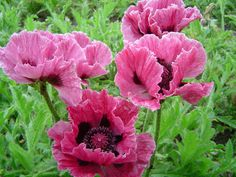 A strong grower, Oriental Poppy 'Bolero' (Papaver Orientale) features large, crepe papery, cup-shaped, rosy purple-red flowers with dark purple eyes and black splotches at their base.