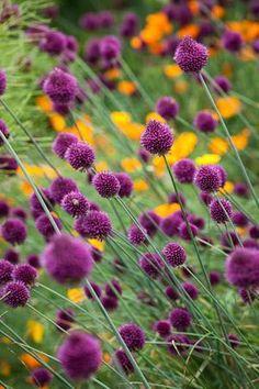 Allium sphaerocephalon , flowers! purple yellow, texture, shape, flow, gardening, spring and summer http://www.sarahraven.com/shop/allium-sphaerocephalon.html#