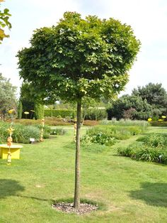 Quercus palustris Green Dwarf | Gartencenter-Shop24