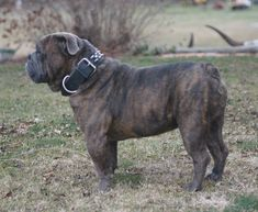Blue Brindle Olde #English #Bulldogge