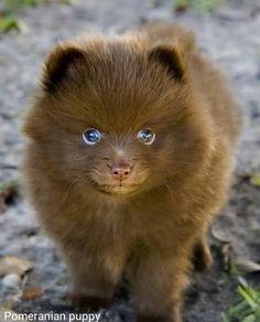 Pomeranian Puppys are soooooo cute!
