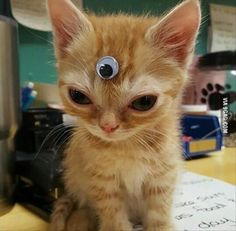 The reason this little Kitty is here because of his eyes he has a rare condition that cats get called - lens luxation. Look up Matilda the cat on the Internet she is quite famous! I find this condition fascinating and I really like the eyes and how they pop out of the face, definitely an inspiration!