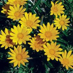 The flowers of 'Butterscotch Baby' are a delight. This plant has a low, tight, tidy rosette of thin green leaves and is very cold hardy and garden tested, surviving below zero winter temperatures. Add rich color to your garden with this late spring and summer bloomer. Suited for Zones 5b-9.