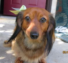 Mini Doxie Daisy (Our Dachshund)