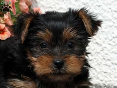 Yorkshire Terrier Puppies For Sale In PA!