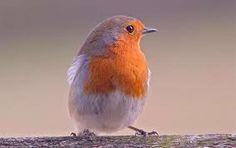 vogels in nederland - Google zoeken