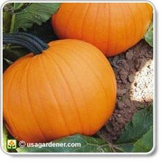 pumpkins growing pumpkins how to grow pumpkin excited to try this for this halloween need to plant seeds asap - Growing Halloween Pumpkins