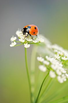 Ladybug by Mirka Wolfova on 500px*