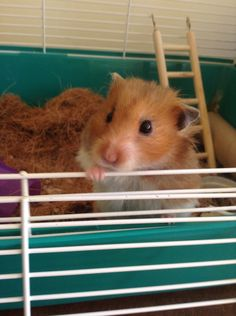 Hamster Live, Bear Hamster, Hamster Cages, Cute Funny Animals, Cute Baby Animals, Animals And Pets, What Is Cute, Funny Hamsters, Cute Piggies